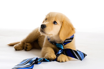 Puppy wearing a tie