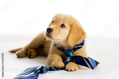 Papiers peints Porter Puppy wearing a tie