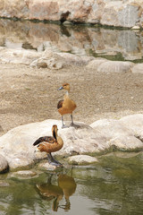 Beautiful Fulvous Whistling Ducks