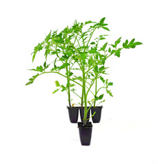 Greenhouse Tomato Plants