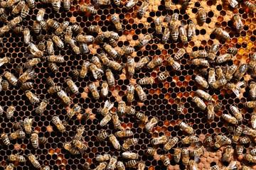 Honey bee workers