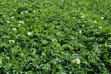 Potato flowering field