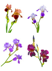 iris flowers of different colors and shapes. collage