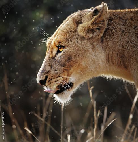 Lioness portrait in the rain