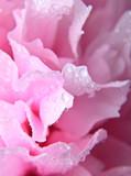 Pink peony background - 33274380