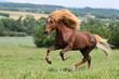 Fototapeten,hengst,pferd,galopp,island