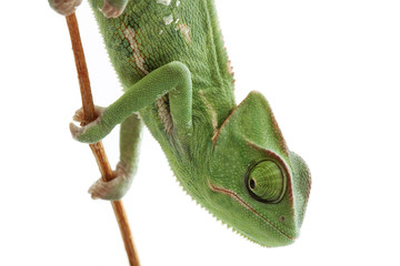Baby chameleon isolated on white background