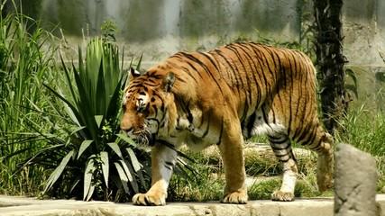 tigre tra le rovine di un tempio