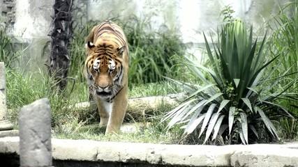 tigre, incontro pericoloso