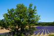 paysage : blé et lavandes