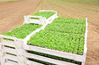 farming, agriculture, basil field plantation