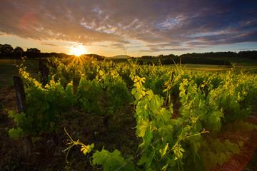 Vignoble à l'aube