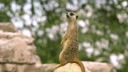 suricato, piccolo mammifero africano