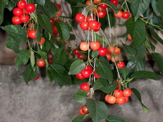 amarene (Prunus cerasus)