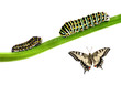 two swallowtail caterpillars and an adult butterfly