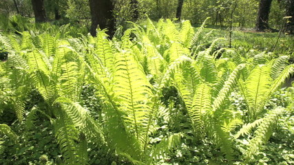 Fern plants in the sunshine swaying with the wind in a forest