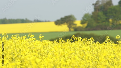 Close up of canola flowers swaying with the wind