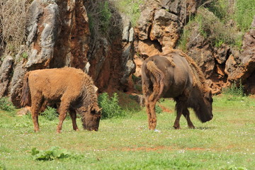 Bisontes Europeos. Bison bonasus.