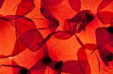 Rote Mohnblumenblätter - 33313393