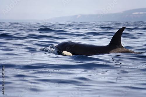 Deurstickers Dolfijn transient orca