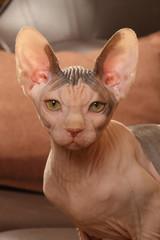 grandes oreilles du chat sphynx