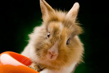 Coniglio Nano con Testa di Leone con cibo