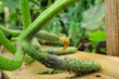 concombre,cornichon