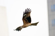 Black Kite a eagle bird