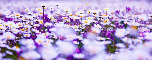 Daisy field © Anna Om