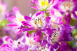 Schizanthus wisetonensis - hybriden, close-up