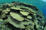 Coral Garden with Acropora Table Corals poster