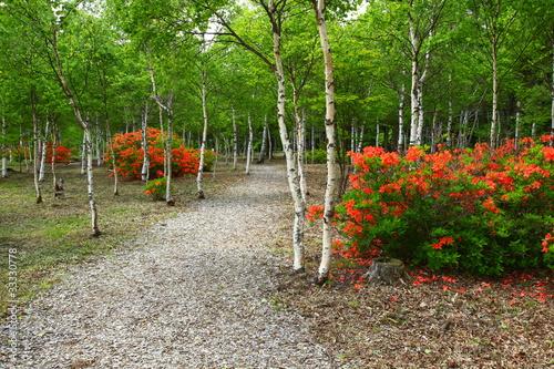 白樺とツツジの咲く小道