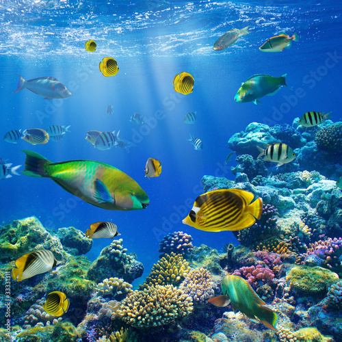 Coral colony and coral fish - 33331311