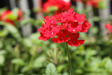 赤いバーベナの花畑