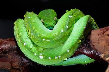 wet green tree python