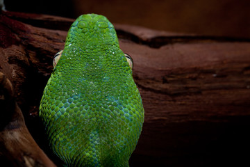 head of a green tree python