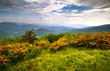 Flame Azalea Blooms Blue Ridge Mountains Roan Appalachian Trail