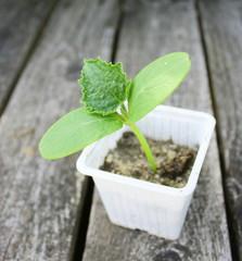 plant de cucurbitacée
