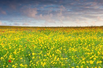 Poppies and Corn Marigold