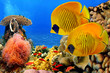 Masked butterfly fish (Chaetodon semilarvatus) and coral reef