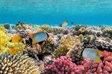 Chevron butterflyfish poster
