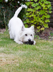 Westie Playing