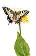 Swallowtail (Papilio machaon) sitting on a yellow flower.