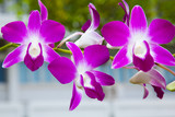 Fototapety purple orchid bloom