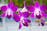 Fototapety purple orchid bloom