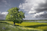 single tree in rural landscape with wetland in background poster