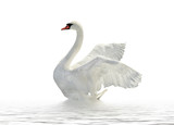 White swan. - Fine Art prints