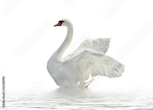White swan. - 33368990