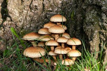 Fungus - Mushroom