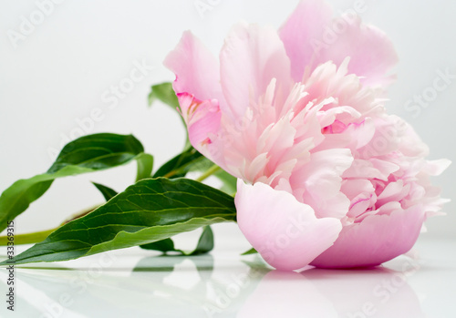 peony flower on light